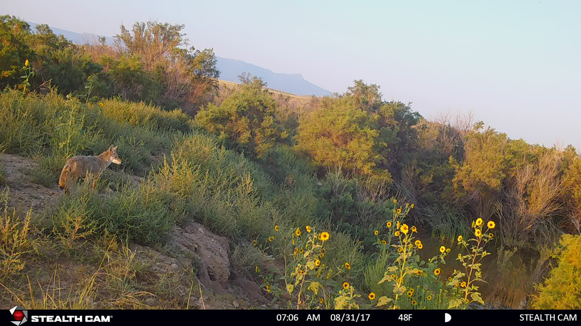 Coyote on a trail camera