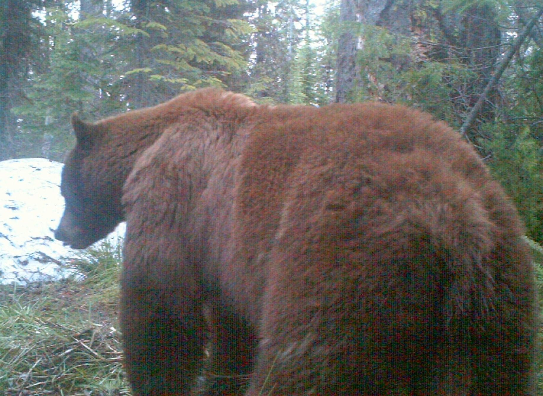 Spring bear caught on trail camera.