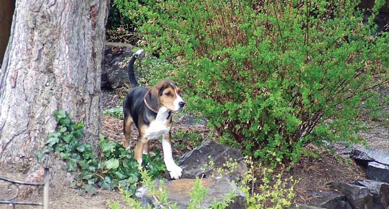 puppy hunting hound