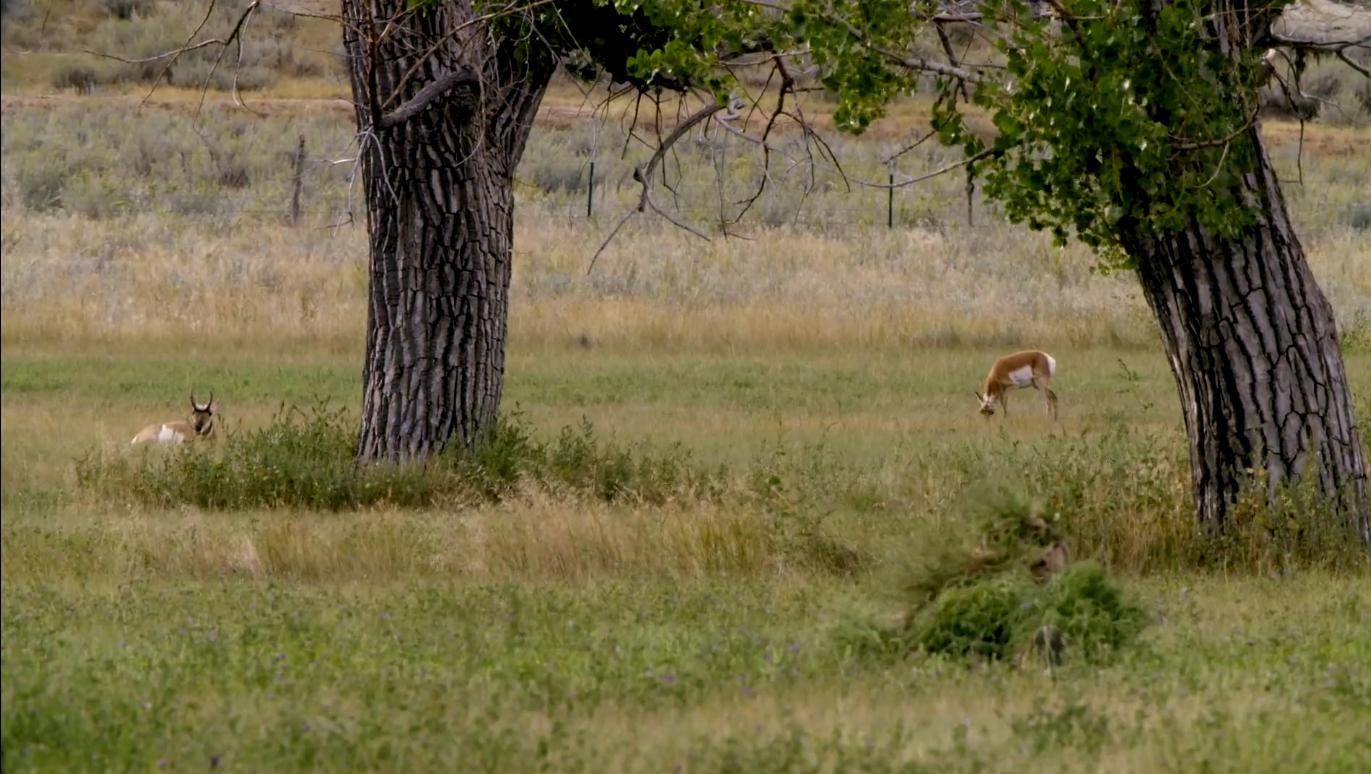 Two antelope bucks